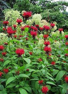 Blazing red flowers; mildew resistant foliage, tall 4-5 ft, summer to fall bloomer