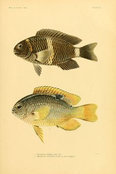 The fishes of Samoa  Washington,Government print off.,1906.