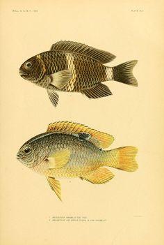 The fishes of Samoa  Washington,Government print off.,1906.