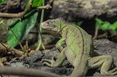 small-antillean-iguana-826682_1920.jpg (1920×1280)