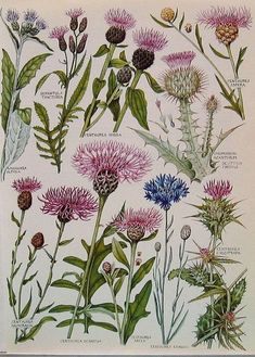 1965 Vintage Book Plate Featuring Exotic British Flowers and Plants Including: Scottish Thistle, Milk Thistle, Star Thistle, Knapweed Floral Illustration, Illustration Botanique, Plant Illustration, Vintage Botanical Prints, Botanical Drawings, Botanical Art, Vintage Art, Vintage Library, Vintage Books
