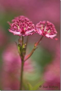 Photography Tips & Tutorials | The Rules of Thirds Explained #Astantia, Flower, Composition.
