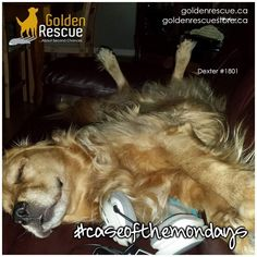 WARNING: Going to sleep on Sunday will cause Monday. #caseofthemondays #goldenretriever #rescuedog #adoptdontshop Go To Sleep, Dexter, Rescue Dogs, Cute Dogs, Adoption, Animals, Foster Care Adoption, Animales, Dexter Cattle