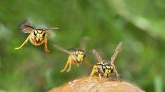 Fünf Tipps zum Wespenschutz
