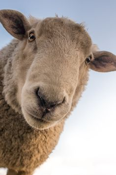 Free download of this photo: https://www.pexels.com/photo/focus-photo-of-brown-sheep-under-blue-sky-227691/ #animal #cute #sheep