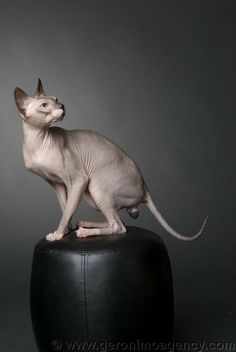 DONSKOY aka DON-SPHYNX: rare russian hairless cat, unrelated to the better known Sphynx breed. The Don hairlessness is caused by a dominant gene, whereas the Sphynx hairlessness is caused by a recessive gene. | photo: Maximus Perpetuum of Don Amour cattery