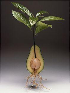 Best Indoor plants - an avocado tree!