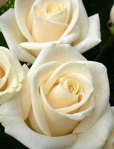 """Rosas blancas Mejor guarda estas rosas para un momento más melancólico. Su mensaje puede decir """"de un corazón desgarrado, con amor""""."""