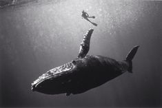 Swimmer with Humpback Whale, Hawaii (SC-403*) by Wayne Levin