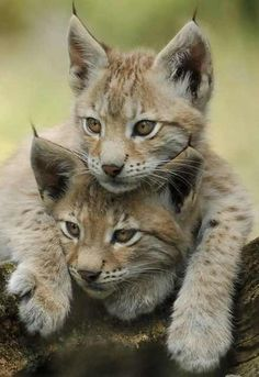 Iberian Lynx kittens ~The Rarest cat in the World. Once found throughout Spain and Portugal, the Iberian lynx is now limited to Andalusia, Spain. The Iberian lynx is smaller than other species of lynx Crazy Cats, Big Cats, Cats And Kittens, Cute Cats, Beautiful Cats, Animals Beautiful, Beautiful Babies, Cute Baby Animals, Animals And Pets