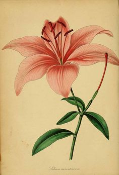 189135 Lilium bulbiferum Thunb. [as Lilium aurantiacum Weston]  / Magazine of botany and register of flowering plants [J. Paxton], vol. 6: p. 127 (1839)