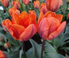 Single Early Tulip 'Princess Irene'