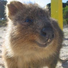 Ridiculously Cute Animal of the Day: Quokkas!