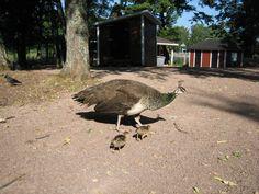 Peacocks in Mariehamn