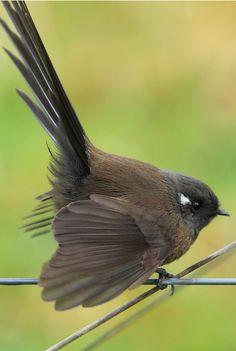 Abanico maorí - New Zealand Fantail - Neuseelandfächerschwanz - Rhipidure à collier Tropical Birds, Colorful Birds, Rare Birds, Wild Creatures, Kinds Of Birds, Little Birds, Totems, Nature Animals, Wild Birds