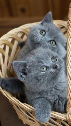 Grey Kitten, Grey Cats, Blue Cats, Fluffy Kittens, Cute Cats And Kittens, Kittens Cutest, Baby Kittens, Kitty Cats, Gatos Cats