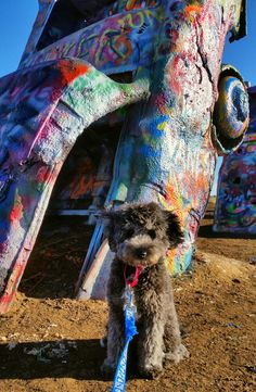 9 Best Gunner the Aussiedoodle's Adventures images in 2018