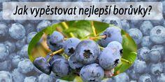 Tlustice – pěstování a léčivé účinky - RadyBydleni.cz Bonsai, Blueberry, Fruit, Compost, Cactus, Berry, Blueberries, String Garden