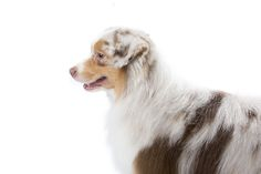 Miniature American Shepherd Dog Breed Information Akc Breeds, Rare Dog Breeds, Unique Dog Breeds, Popular Dog Breeds, Miniature American Shepherd, Border Collie Mix, Herding Dogs, Shepherd Dog, All Dogs