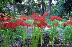 Lycoris radiata taken in Ft. Worth, TX by Dee Nash They are sending their leaves up now, and in the fall, they send up blooms.