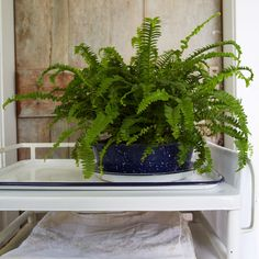 Ferns are beautiful shade plants that can be easily grown indoors and outdoors. The Organic Gardening fern growing guide outlines the best fern for your garden. Outdoor Shade, Outdoor Plants, Easy To Grow Houseplants, Growing Plants Indoors, Small Space Gardening, Garden Spaces, Grow Organic, Organic Gardening Tips, Shade Plants