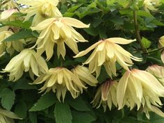 Clematis 'Amber' is a new gorgeous variety.