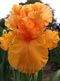 Iris Orange King I now have a few orange varieties both in CO and AZ, The deer grazed in the orange bed here in CO however they grew back quickly.