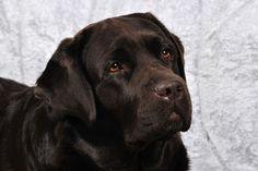 Mora - Promises Of The Pyramid Woodstack Labrador Chocolate, occhi a cuore, cuccioli di labrador chocolate in arrivo