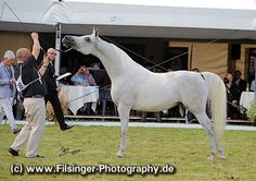 CAMILIA (PL) Grey Polish-related Arabian mare. Piaff {Eldon x Pipi by Banat} x Calineczka {Metropolis NA x Carina by Pesal} Bred by Białka State Stud, Poland. Owned by Al Jazeera Arabian Horse Stud, UAE. [* ArabianFlashlight... * FilCoARt]
