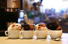 Guinea cup-pig-cinos