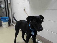~~DIES SAT., 05/20/17 - SEE VIDEO!!~~ needs an adoption hold by 5:30pm OR a rescue group to claim by 5:50pm SATURDAY 5/20. -  -  EXTREMELY URGENT - ~ local foster needed❗~HOUSTON- This DOG - ID#A483827    I am a male, black Labrador Retriever.    My age is unknown.   Harris County Public Health and Environmental Services. https://www.facebook.com/harriscountyanimalshelterpets/videos/1528837617180031/
