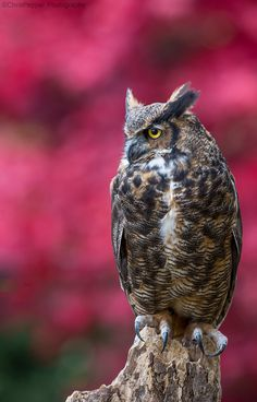 Great horned owl - The Great Horned owl is such a majestic creature. It's calm movements and inquisitive nature makes this owl a true beauty of the forest. While hiking on trails keep an eye out for owls as you can walk right past them and never know they were there.