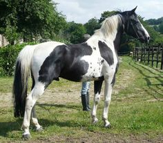 'Goshka Ringo' is a black homozygous tobiano stallion.  He is the sire of Vision Morinda.   ...Not as many small spots as she has...    - photo posted by EmilyRose3 on Horse Grooming Supplies forum, Rare colors, page 102
