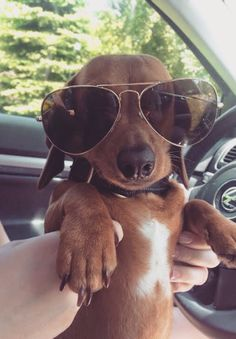 The Diverse Dachshund Breed - Champion Dogs Dachshund Breed, Dachshund Love, Daschund, Baby Animals, Funny Animals, Cute Animals, Cute Puppies, Cute Dogs, Corgi Puppies