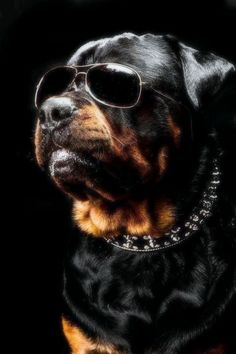 ROTTWEILER on Pinterest | Rottweilers, Rottweiler Puppies and ...