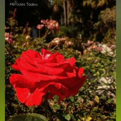 A beleza das flores me facina. #flowers #flower #petals #nature #beautiful #love #pretty #plants #blossom #sopretty #spring #summer #flowerstagram #flowersofinstagram #flowerstyles_gf #flowerslovers #flowerporn #botanical #floral #florals #insta_pick_blossom #flowermagic #instablooms #bloom #blooms #botanical #floweroftheday #tvminuto #meuclicksp #hospitaldocancer #igrejamessianicapituba http://gelinshop.com/ipost/1524341579199032407/?code=BUnjJcIhCxX