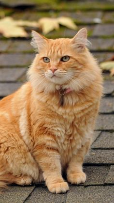 Maine Coon 'Fluff' on the roof.