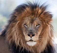 Resultado de imagem para fotos de leoes deitados