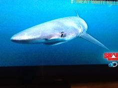 Blue tip shark, always hungry attacks larger prey they are 9 feet long