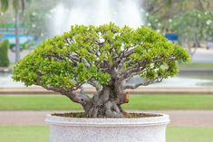 13 Types of Bonsai Trees (by Style and Shape Plus Pictures) Bonsai Tree Types, Bonsai Trees, Replant, Bonsai Garden, Ficus, Seeds, Home And Garden, Shapes, Unique Furniture