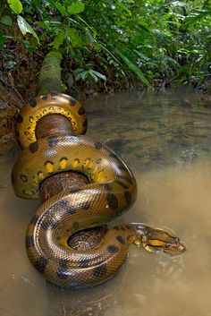 "Anaconda can be 30 feet long and weigh up to 550 pounds. Females are larger than males. They like to eat Fish, Turtles, Caimans, Capybaras, Pigs, Jaguars, Deer and the occasional human, all of which they swallow whole. ~ Miks' Pics ""Animals lV"" board @ http://www.pinterest.com/msmgish/animals-lv/"