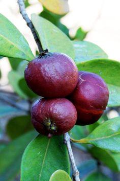 Strawberry guava (Psidium cattleianum). a.k.a. Cattley Guava