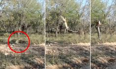 The leopard that was hard to spot: Animal's stunning kill as impala runs straight towards camouflaged cat