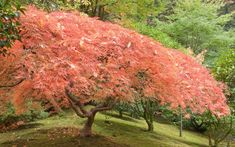 The best trees for autumn colour | The Telegraph Japanese Maple, Autumn Leaves, Country Roads, Trees, Garden, Plants, Pictures, Color, Photos