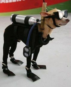 Chihuahua with a scuba diving outfit is looking very stunning. It seems that the little Chihuahua is ready for diving. Do you wanna join him? Pet Halloween Costumes, Pet Costumes, Dog Halloween, Chihuahua Costumes, Costume Ideas, Puppy Costume, Funny Costumes, Clever Costumes, Couple Halloween