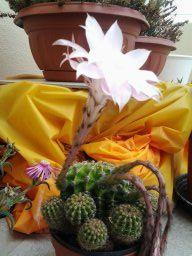Fiore di cactus (Erika)