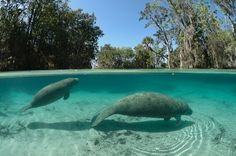 5 Great Places to See Florida Manatees