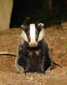 yearling badger by Ric Hopkins 2011, via Flickr