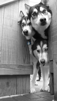 Huskies (f: All about dogs)