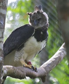 Harpy Eagle (Harpia harpyja) An adult in a recovery centre.